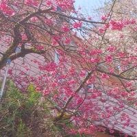 今日(24日)のドリームファームの桜  &  オリパラ