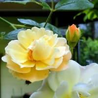 庭の花木(5月ー2)、カルミア、アンドロサエマム、ハクチョウゲ、バラ、他