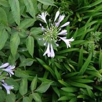 儚く淡い水色の花