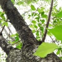 コブクザクラ    はざくらのあかるさがとくべつにまぶしい     東京都江東区都立の森