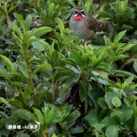 Rubythroat-X・・・ノゴマ
