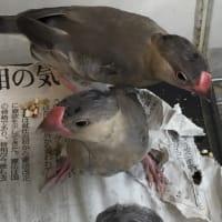 ●2羽の桜文鳥が巣立ちました●