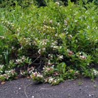 ニオイウツギ - 神代植物公園 植物多様性センター