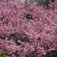 「桜」/椿山荘2020