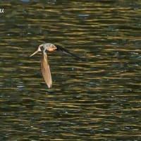 水面を飛翔する・・・ツバメ