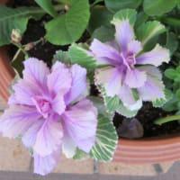 3/4 寄せ植え鉢のチューリップの葉と花たち