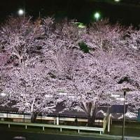 我が街の桜もやっと見頃