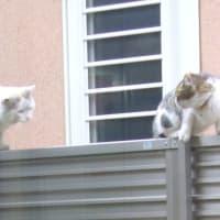 白猫さん 塀の上に乗り、侵入してきた別猫さんを追う 【調布市:自宅】 2013.MAR