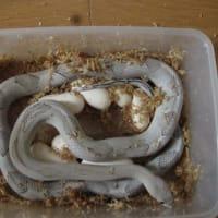 シルバーペコスの産卵(第10クラッチ)。