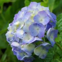 我が家で咲く紫陽花