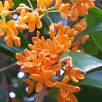キンモクセイの香りと花