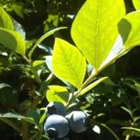 季節の香り ブルーベリー