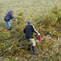 友達と一緒に、しいたけ用の木を伐採