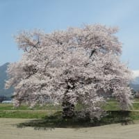 大町市内の桜の近況(須沼の一本桜ほか)
