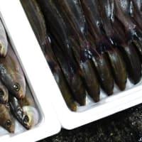 本日の小田原魚市場の水揚げ「羽生」ってなんの魚?JSフードシステム