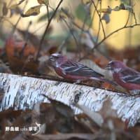 倒木の上・・・オオマシコ Episode3