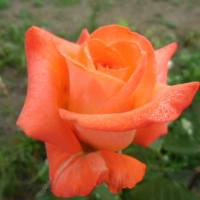 フランス生まれの薔薇 ローラ