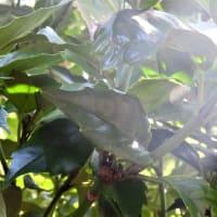 アオキ    日本の、仄暗い、深い森      千葉県市川市行徳・野鳥の楽園