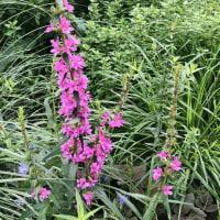 ビルの谷間の紫陽花