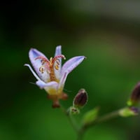 ●我が家の8月の花(1)メドーセージが開花 西洋アサガオ ホトトギス