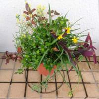 3/4 Myガーデンの花たち:黄色いスイセンの花他