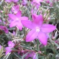 フイリーナクイーンの花は