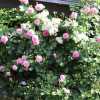 クイーン・オブ・スエーデンと家周りを彩るつるバラ