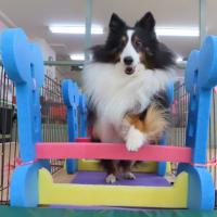 跳んだりくぐったり♪  犬のしつけ教室@アロハドギー