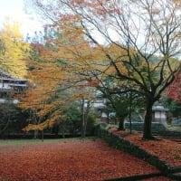 瑞応寺の大銀杏