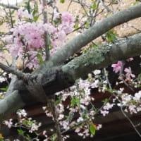 鎌倉の至宝(鎌倉国宝館)+海蔵寺の海棠