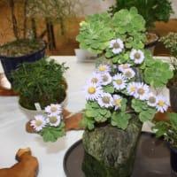 「おはようの花」 季節の山野草 ダルマギク(達磨菊)  11月