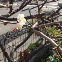 家の梅も開花。南高梅
