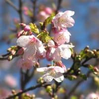 早咲きの桜と菜の花