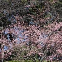 「河津桜」/池上本門寺