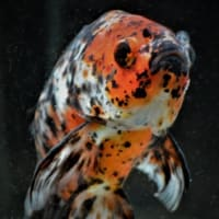 金魚でゲンキョ⁉ ~京セラドーム・アクアリウム