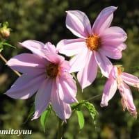 「県立相模原公園 」のゴージャスな美しさの「皇帝ダリア」
