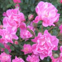 5/7 エリア1:バンマツリ、ミニバラなど花盛り