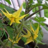 2019年5月のミニトマト:5/7花が咲く、5/16実がなってる!