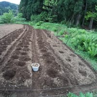 里芋の植え付け