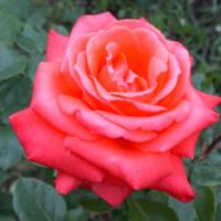 赤バラの誓い