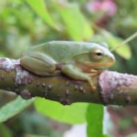 眠そうな蛙くん・・・・