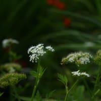 セリ の花は