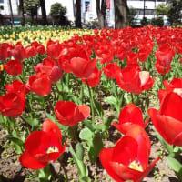 横浜公園チューリップの開花2020/3/25