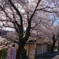 長瀞の桜 満開です