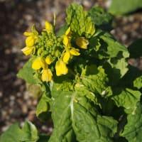 早春の花 シナマンサク、ウグイスカグラ、菜の花が開花