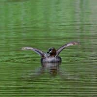 得意そうに翼を広げて泳ぐ、カイツブリ。