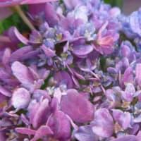 アジサイの花が咲きました 190615