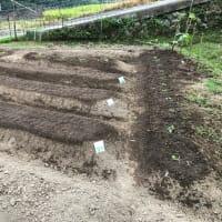 大根、カブ、ホウレンソウなど種まき