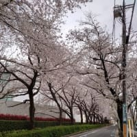 3月28日(日):散歩、桜