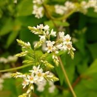 シャクチリソバとオリズランの花
